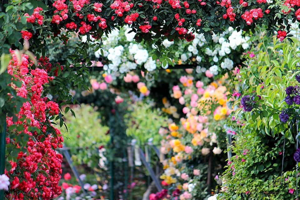 rozi-gradinski