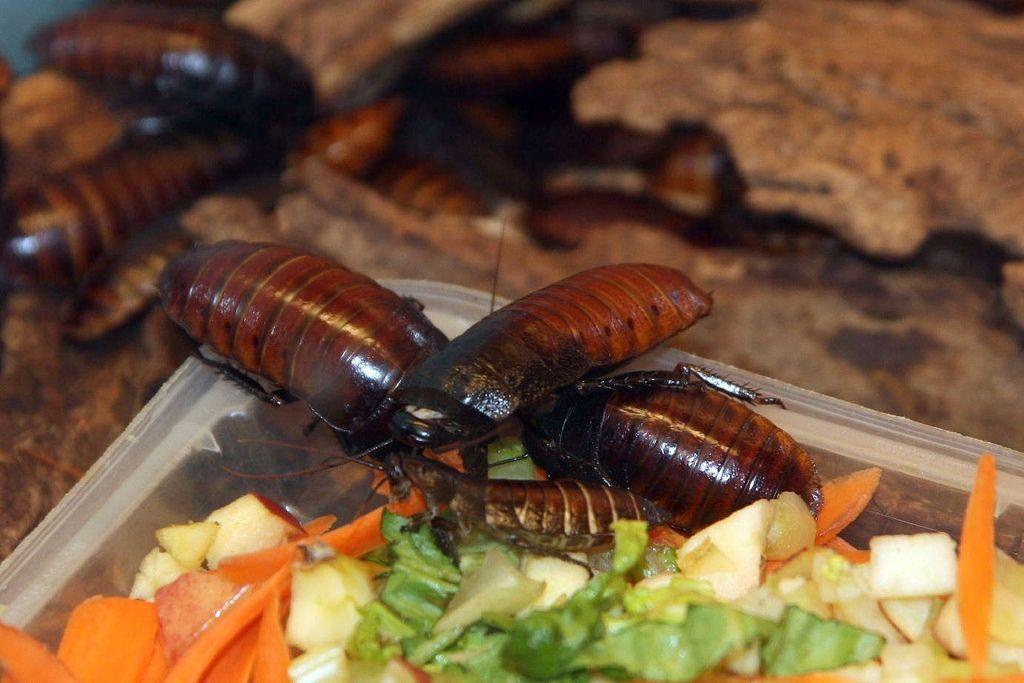 колко опасни са хлебарките